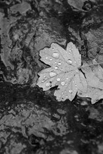 Black White Leaves In Water After Rain