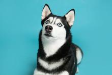 Cute Siberian Husky Dog On Blu...