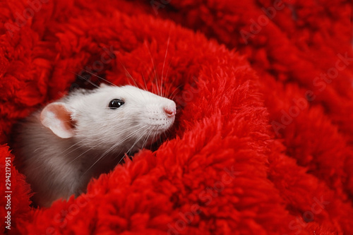 Photo sur Toile Pays d Asie Cute little rat wrapped in red fluffy blanket