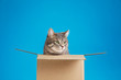 canvas print picture Cute grey tabby cat sitting in cardboard box on blue background
