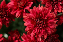 Beautiful Red Chrysanthemum Flowers With Leaves, Closeup