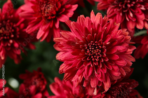 Tableau sur Toile Beautiful red chrysanthemum flowers with leaves, closeup