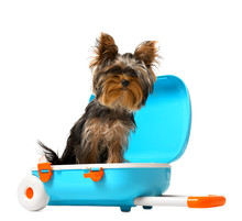 Adorable Yorkshire Terrier In ...