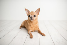 Tan Chihuahua On An Indoor Photo Set, Adorable Senior Dog With Cute Personality