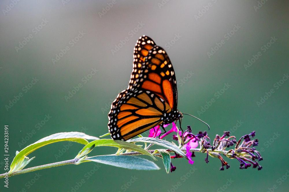 Fototapeta butterfly on flower
