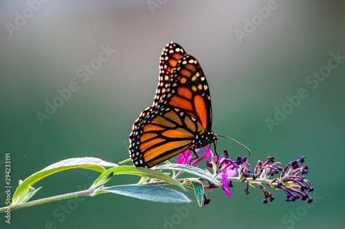butterfly on flower - 294233191
