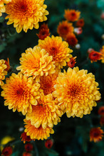 Fresh Bright Chrysanthemums. J...