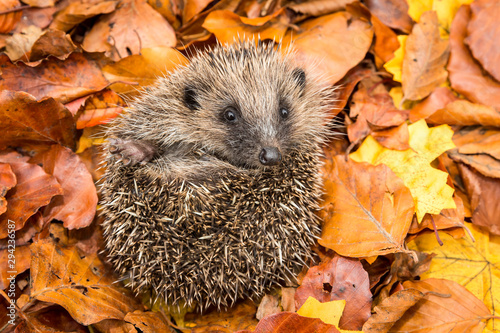 Hedgehog, wild, native, European hedgehog in colourful Autumn or Fall leaves Poster Mural XXL