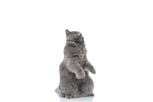 British Longhair Cat Standing On Hind Legs And Looking Up