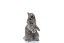 British Longhair Cat Standing ...