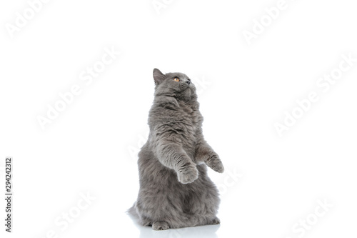 Photo british longhair cat standing on hind legs and looking up