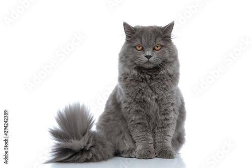 Obraz british longhair cat sitting and staring at camera calm - fototapety do salonu