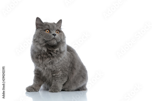 Obraz british longhair cat sitting and looking away pensive - fototapety do salonu