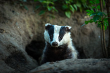 Badger, (Scientific Name: Meles Meles) Wild, Native Badger, Facing Forward And Emerging From The Badger Sett. Landscape, Horizontal. Space For Copy.