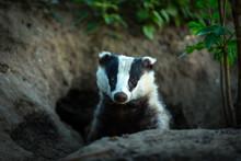 Badger, (Scientific Name: Mele...
