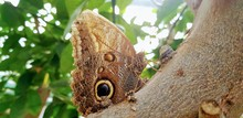 Butterfly In A Greenhouse - Yellow Edged Giant Owl Butterfly