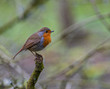 A Robin sitting on a broken branch with a small fly in its beak