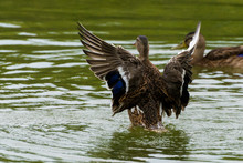 Duck Spreads Its Wings On The ...
