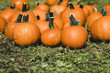 canvas print picture - Orange pumpkins in the field for hallowen and fall background