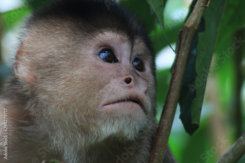 Photo A close up of the face from a white fronted capuchin moneky, cebus albifrons