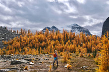Woman Walking In Beautiful Alpine Meadows With Yellow  Larch Trees And Mountains Covered With Glaciers. Fairview Mountain Trail In Lake Louise Area. Banff National Park. Alberta. Canada