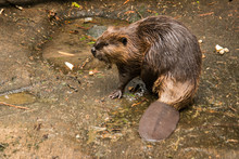 Curious American Beaver (Castor Canadensis) Looking Around