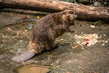 Beaver Castoridae Eating Lunch