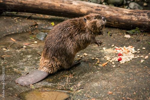 beaver castoridae eating lunch Wallpaper Mural