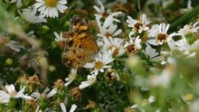 Silvery Checkerspot, Or Sunflo...