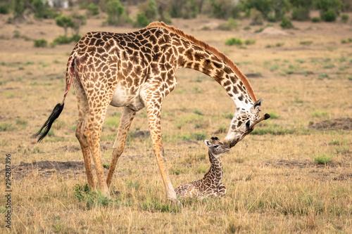 Girafe Postere și Tablouri | Cumpără online pe Europosters.ro ...