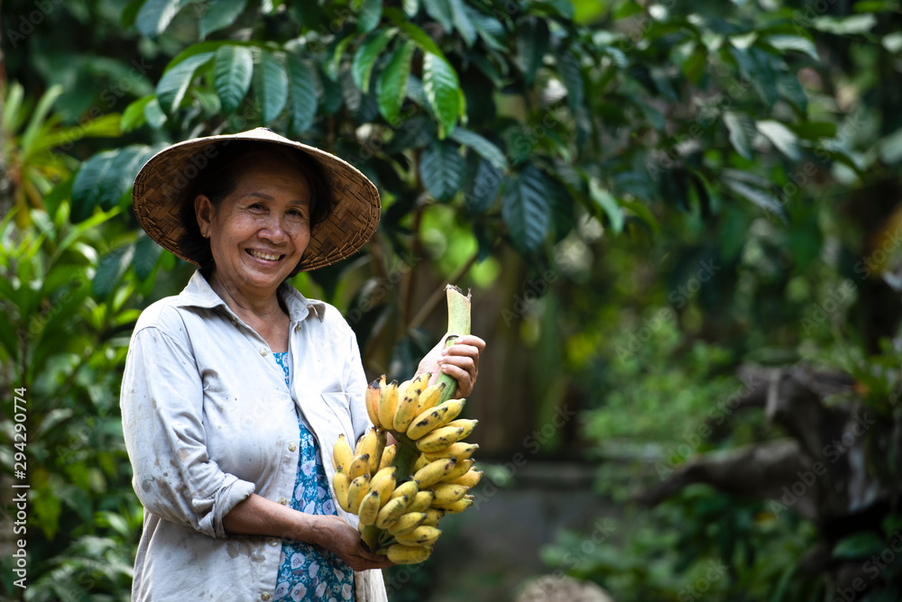 Fototapety, obrazy: Local workers in the banana plantation, female farmers raise bananas on an organic farm, Thai Smile Farm.