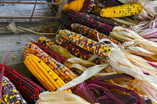 Colorful Ornamental Corn Also Known As Indian Corn In The Autumn Harvest Season