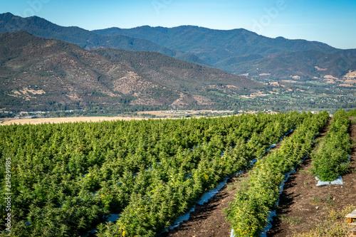 Rows of marijuana plants on a farm in the hills above Ashland in Southern Oregon Tapéta, Fotótapéta