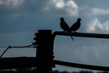 Silhouette Of A Pair Of Mourning Doves Backlit By A Cloudy Sky. Mates For Life.