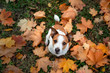 dog in the fall. Jack Russell Terrier colored leaves in the park. Pet for a walk