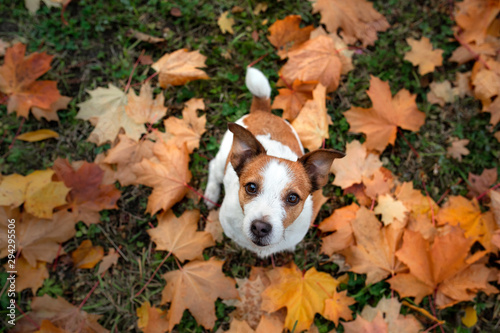plakat dog in the fall. Jack Russell Terrier colored leaves in the park. Pet for a walk
