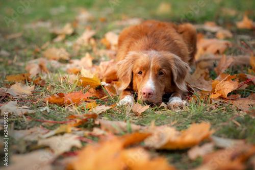 Dog in the park in autumn Fototapeta