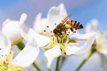 Closeup Of A Honeybee Pollinat...