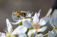 Honeybee Pollinating A Pear Blossom In The Spring