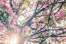 Blooming Apple Tree In Spring With Sun Shining Through Branches