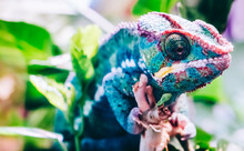 Colorful Panther Chameleon Sit...