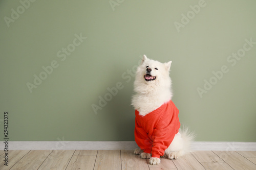 Obraz Cute Samoyed dog in sweater against color wall - fototapety do salonu