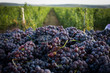 Leinwanddruck Bild - Fresh grapes in a truck
