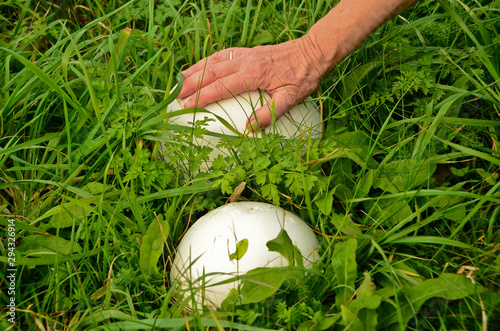 a single hand touches a large, white puffpall, mushroom, in the grass Canvas Print