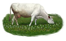 White Cow Grazing In A Meadow ...