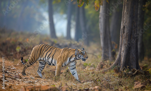 Fotografija Tigreress Choto Tara with a radio collar at Tadoba Andhari Tiger Reserve,Maharas