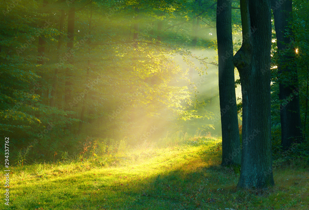 Fototapeta Beautiful morning in the forest