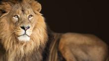Lion King Animal Background Ba...