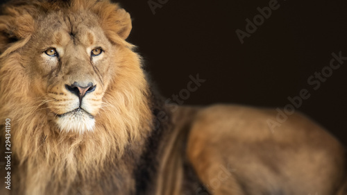 Spoed Fotobehang Leeuw lion king animal background banner