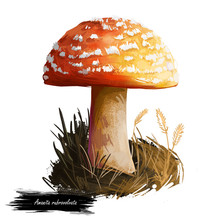 Amanita Rubrovolvata Or Red Volva Mushroom Closeup Digital Art Illustration. Boletus Has Reddish Orange Cap With Ring. Mushrooming Season, Plant Of Gathering Plants Growing In Woods And Forests